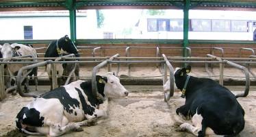 Mais e latte: come aumentano i ricavi a fine anno per chi adotta l'alto investimento all'ettaro
