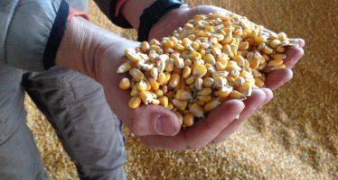 Friuli: nella patria della polenta, il nuovo PSR dichiara guerra aperta al mais