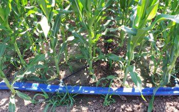 Limiti e vantaggi dell'ala gocciolante per distribuire acqua e fertilizzanti al mais
