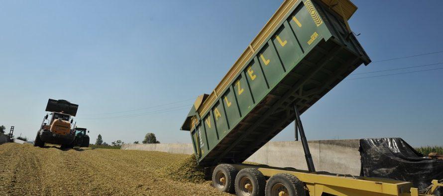 Insilato di mais: concordiamo bene con il contoterzista i tempi del cantiere di raccolta e di insilamento