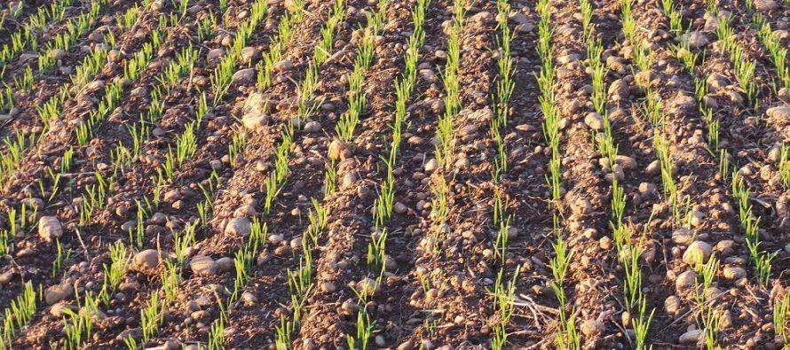Tritordeum, il nuovo cereale che fa bene all'uomo e alla terra