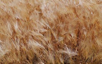 L'industria della pasta investe sul grano italiano. Ora tocca agli agricoltori fare la propria parte