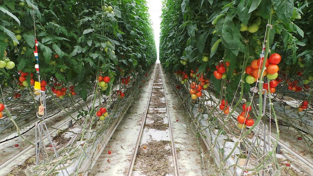 In questa immagine si ha un'idea dell'altezza raggiunta dalla coltura e si nota il binario centrale per la movimentazione e l'accesso alla coltura verticale.