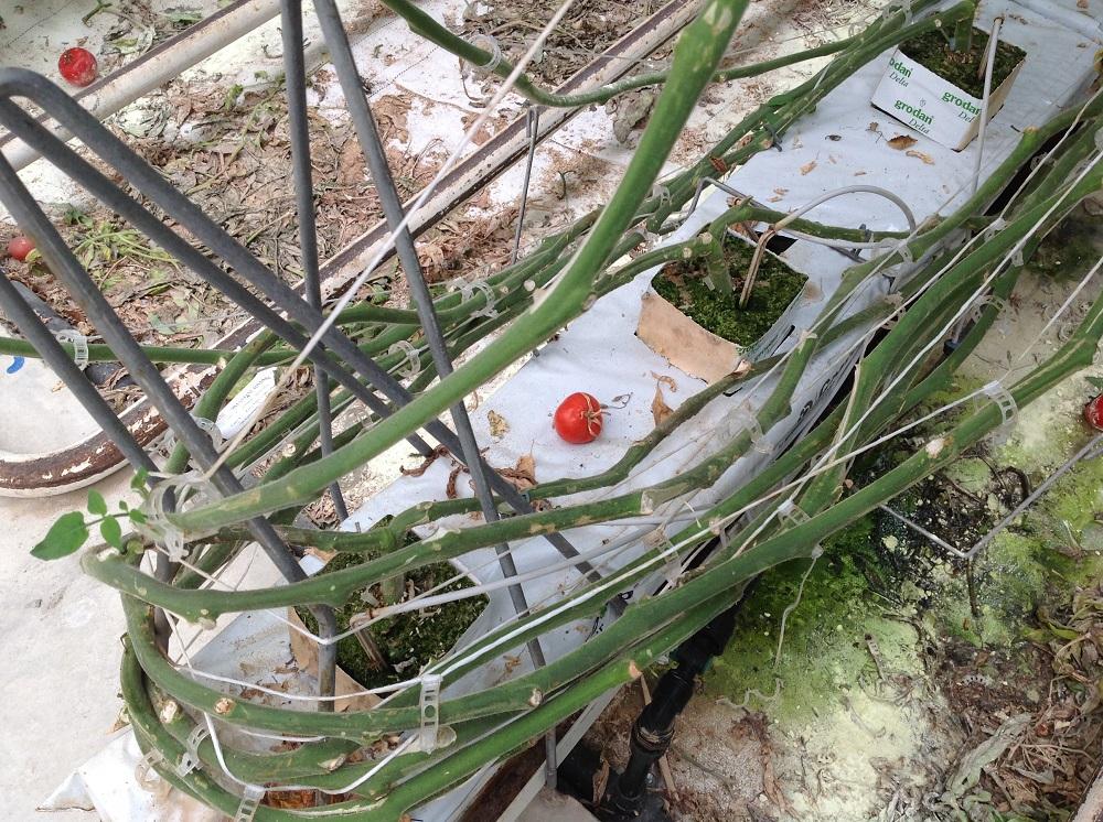 Ogni pianta di pomodoro parte da questa base nutritiva e poi si arrampica sui sostegni della struttura.