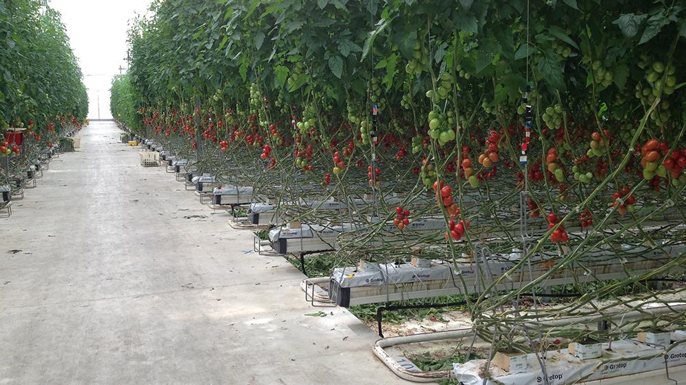 Ecco come si presenta l'interno di una serra con la coltivazione del pomodoro in verticale.