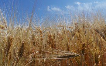 Come saranno i prezzi del frumento tenero e duro? Ecco le risposte da un sondaggio di Terra e Vita