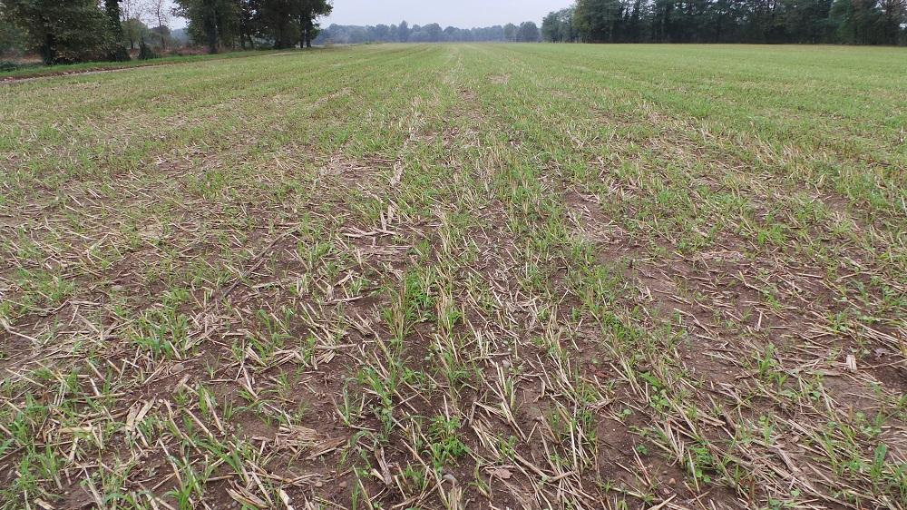 La semina delle cover crops risulta molto utile se si applicano sistemi di gestione conservativa del terreno.