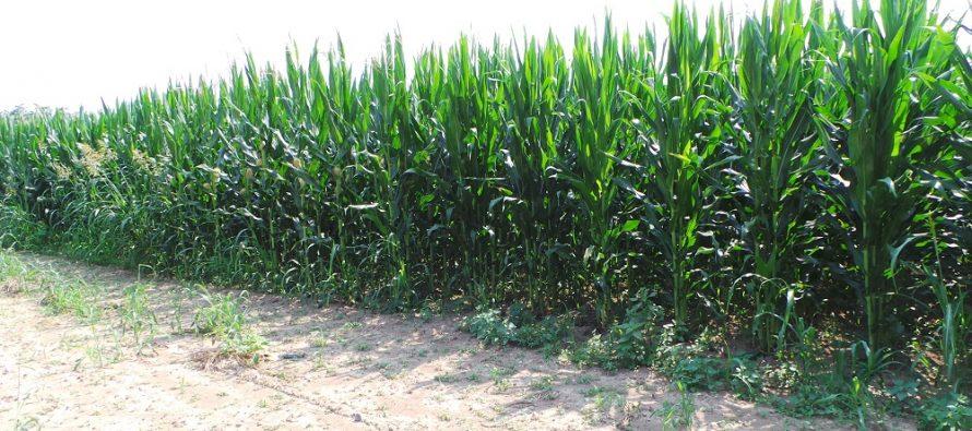 Il satellite ci comunica lo stato della coltura e indica il momento ideale per irrigare