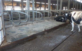 Il benessere animale aumenta la produzione di latte: quattro esempi lo dimostrano