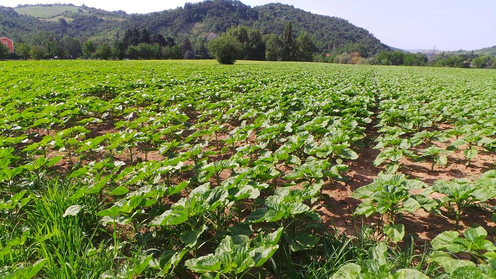 Il girasole è una coltura che non richiede irrigazione e quindi valorizza i terreni collinari.