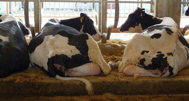 Dall'analisi della giornata-tipo della vacca, importanti indicazioni per produrre più latte