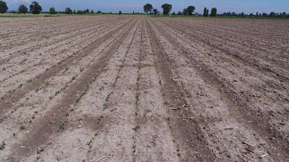 Ecco l'emergenza della soia Eiko su terreno preparato in minima lavorazione con un passaggio di CLC su stocchi di mais.