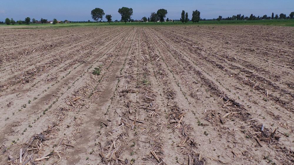 L'emergenza della soia seminata su strip-till effettuato con il Kverneland Kultistrip.