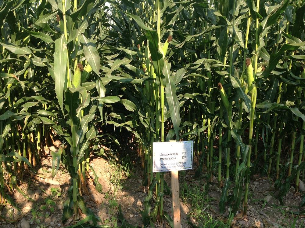 Il mais seminato sulla porzione di terreno che ha ospitato il miscuglio di senape e veccia.