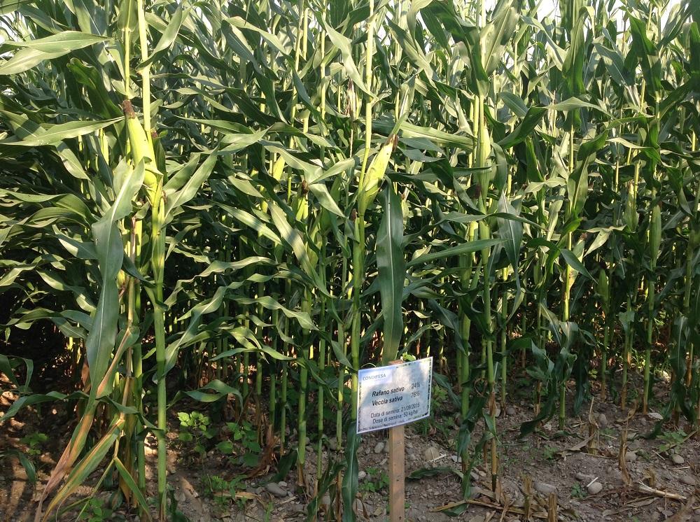 Il mais oggi sul terreno che ha ospitato il miscuglio di cover rafano e veccia.