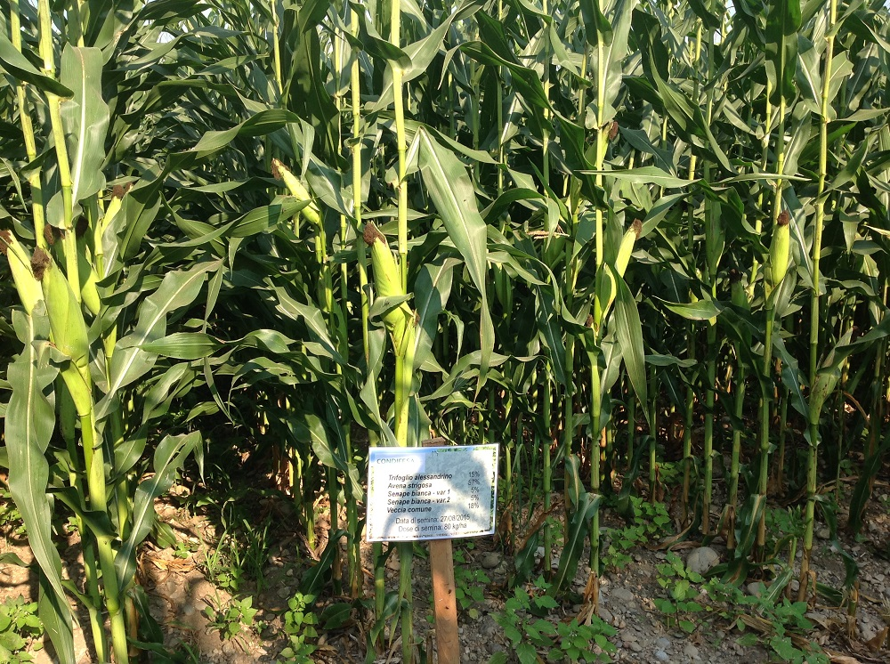 Il campo di mais oggi, seminato su un terreno che aveva ospitato sino alla primavera 2016 un miscuglio di trifoglio, avena, senape e veccia.
