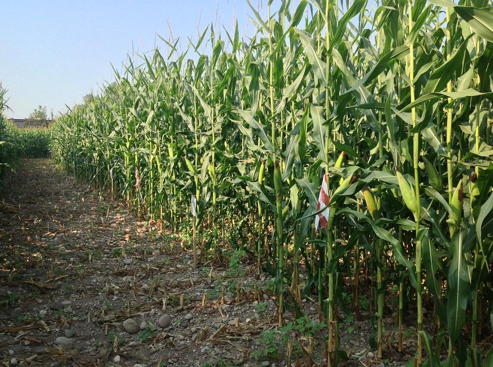 Il mais in vegetazione sull'appezzamento interessato dalla semina nell'autunno 2015 di diverse cover crops nell'azienda Motti per opera del servizio tecnico di Condifesa Lombardia Nord Est.
