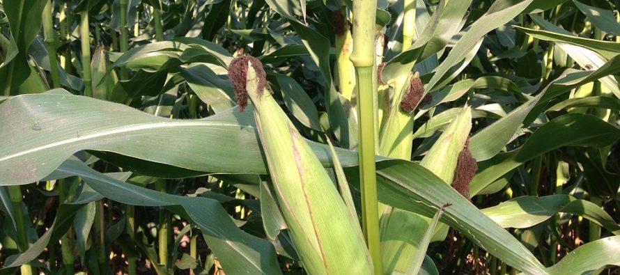 Un fantastico mais seminato su terreno coperto dall'autunno 2015 con diversi tipi di cover crops