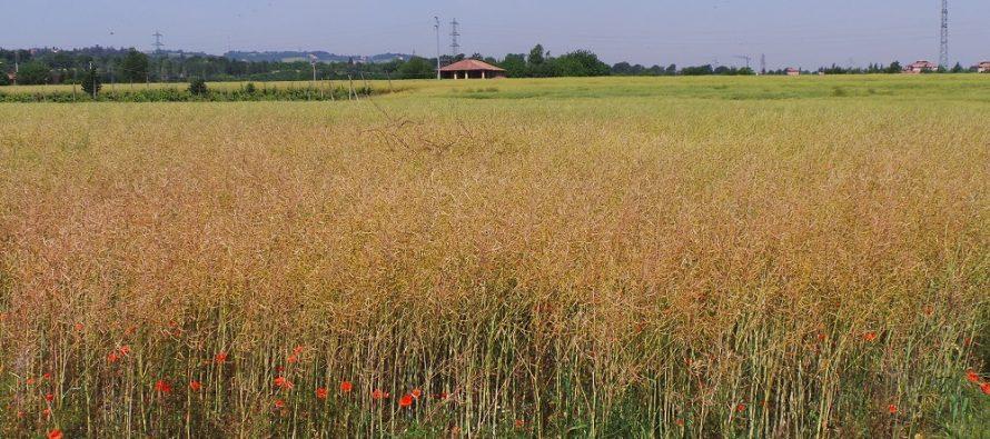 La colza, seminata entro settembre, può rendere oltre 650 euro a ettaro