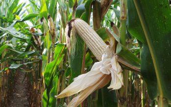 InnoCORN Future: splendido campo di mais bianco seminato su strip-till e minima a Vescovato