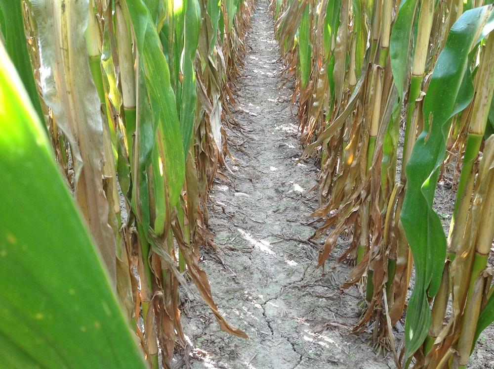 Questa è invece la parte di appezzamento lavorata in minima con il coltivatore Kverneland CLC.