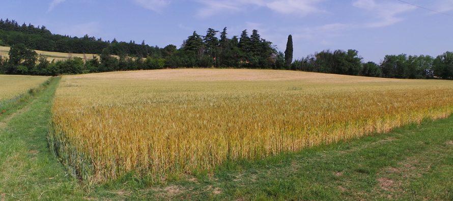 Grano duro su terreno arato, in minima e su sodo: costi e ricavi a confronto