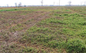 Semina dei cereali vernini su sodo: come gestire al meglio il letto di semina col glifosate