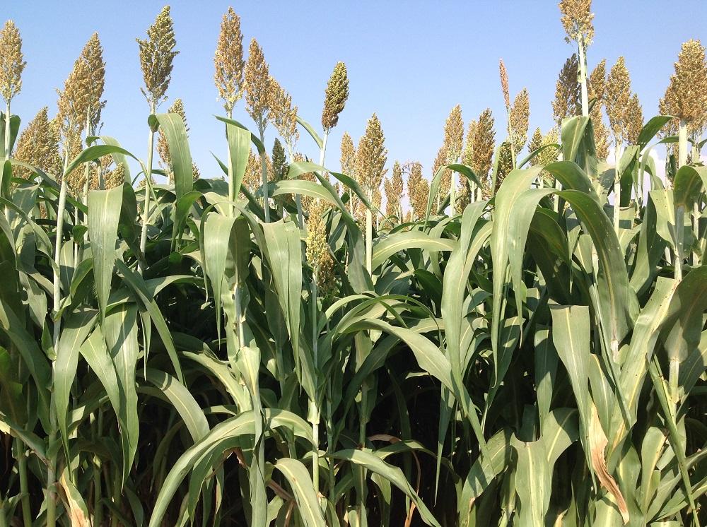 I nuovi ibridi BMR di silosorgo offrono enormi vantaggi agronomici e unità foraggere paragonabili a quelle del silomais.