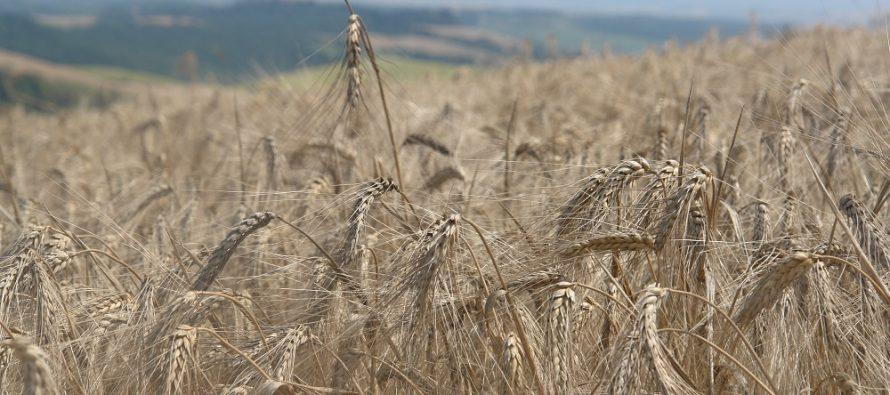 """Il danno """"spiga bianca"""" dall'ofiobolo del grano: con la concia Latitude XL si può limitare l'attacco"""