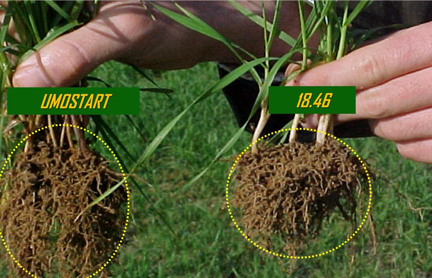 È molto evidente il maggiore sviluppo dell'apparato radicale della piantina alimentata con Umostart (a sinistra) rispetto alla pianta che ha ricevuto alla semina il concime classico 18.46 (a destra).