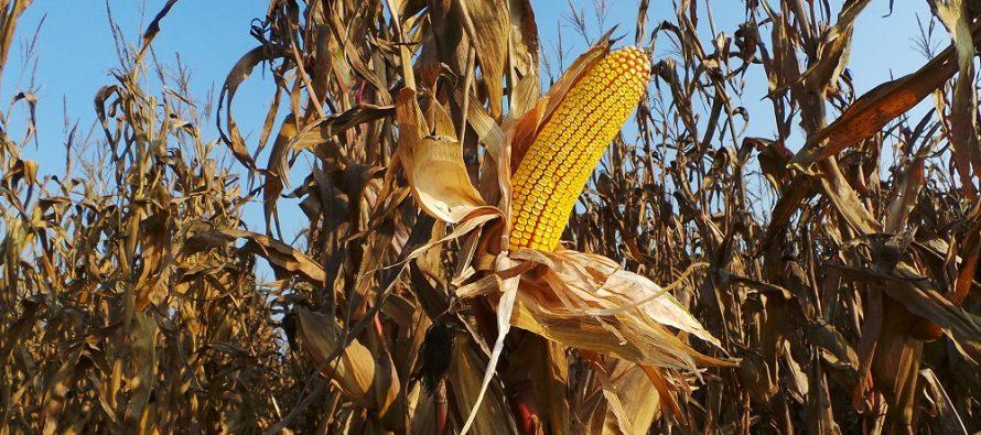 Dalle mappe del suolo e dalle foto satellitari sappiamo come sta il mais e quando ha bisogno di acqua