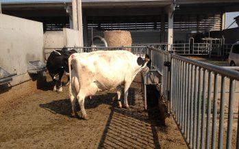 14 euro ogni 100 kg di latte consegnato in meno: le scadenze per presentare domanda