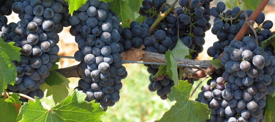 Nuovi impianti di vite da vino: le richieste in Italia superano di dieci volte la superficie autorizzata