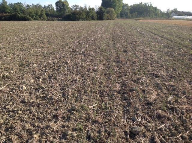 Emergenza del miscuglio di cover crops costituito da veccia e frumento.