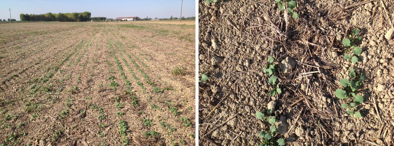 Il campo di colza in emergenza seminato dopo un solo passaggio di coltivatore Kverneland CLC su residui di frumento.
