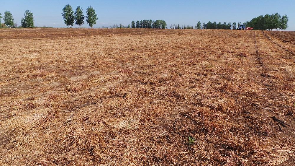 I residui colturali lasciati in superficie costituiscono un ostacolo naturale allo sviluppo delle infestanti.