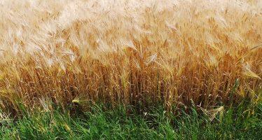 Grano duro biologico: quanto produce, quante proteine fa e con quali varietà?