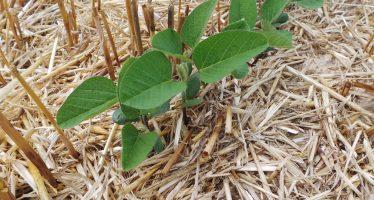 La soia si conferma una coltura strategica e da reddito, ma rimane il paradosso della soia ogm