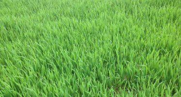 Come difendere il frumento coltivato in regime biologico dagli attacchi parassitari di oidio, septoria e ruggine