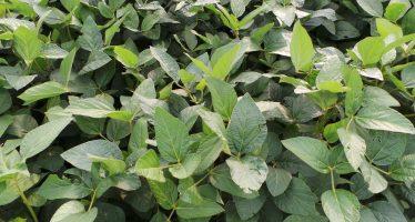 Greening, per il 2017 sulle colture azotofissatrici seminate come EFA si possono distribuire i diserbanti