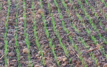 Frumento, come gestire la concimazione azotata a seconda della destinazione commerciale della granella