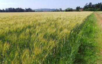Arriva l'assicurazione per grano tenero e duro: se i prezzi precipitano, ci sono indennizzi per mancato reddito