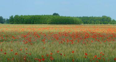 Cereali a paglia: come combattere con successo alcune infestanti molto difficili e resistenti