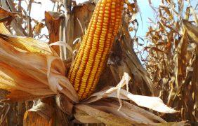 Sos mais italiano: in dieci anni persi oltre 400mila ettari di superficie seminata