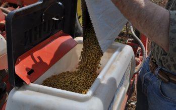 Soia, ecco i motivi tecnici che rendono indispensabile l'acquisto del seme anziché l'autoriproduzione