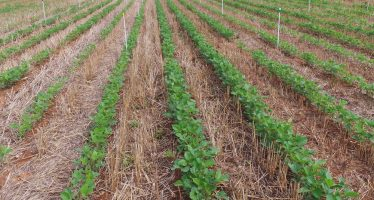 Soia, seme aziendale o seme certificato? I pro e i contro di una scelta molto discussa
