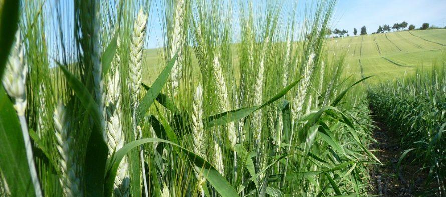 Frumento, per produrre e fare qualità occorre il doppio intervento fungicida