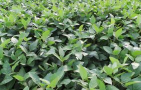 Infestanti, Amaranthus resistente sulla soia: ecco le soluzioni per risolvere il problema