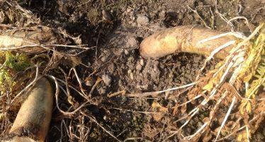 """Cover crops: """"Tillage Radish"""", il rafano americano che lavora il terreno al posto dell'aratro"""