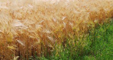 Il rilancio del grano passa dal carrello della signora Valeria e dall'innovazione dell'agricoltore